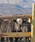Sorting the heifers