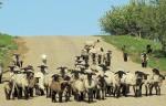 The blackface sheep move to summerquarters