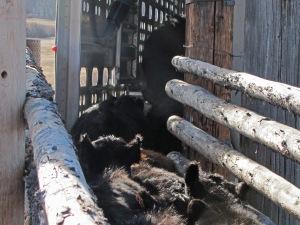 calves heading up the chute