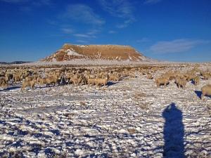 Ewe lambs at Little Powder Mountain, January 1, 2013