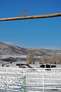 heifers in the Ames Field