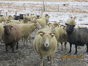 Icelandic ewes, descended from Viking stock
