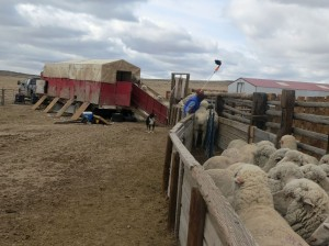 up the chute and into the portable shearing shed
