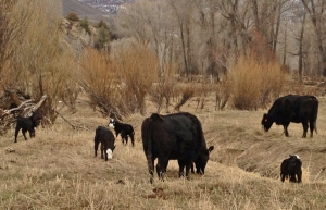 Cows with black baldie calves