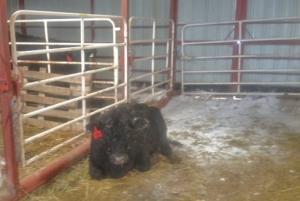 Live (!) calf in the calving