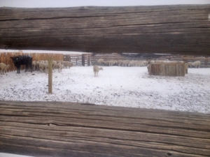 Cows and sheep huddled against the fences