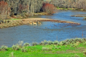 Morning commute for mule deer, Little Snake River