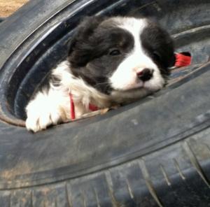 Duke, the shearer's puppy