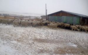 Pregnant ewes in sheltering in front of the lambing shed