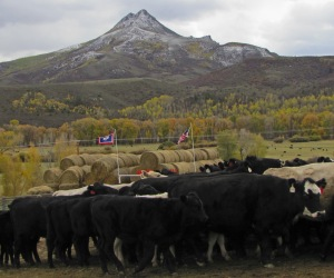 Cows coming into the Home Ranch corral