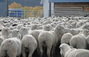 Ewes in the corral