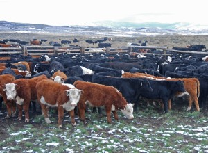 Herefords, Angus at corrals