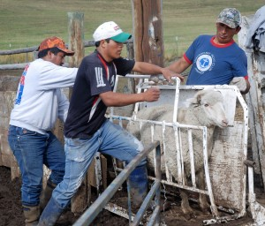 Pepe, Avecio and Timeteo put a ewe in the chute