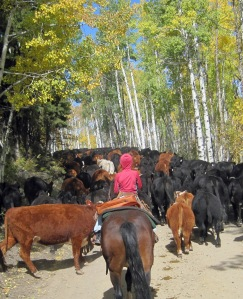 Siobhan trailing cows off the Routt National Forest