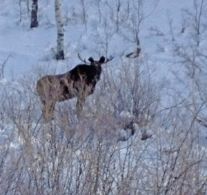 We saw this moose on Tennessee Creek in the Routt National Forest the other day. We haven't seen moose in the area before.