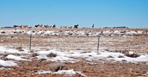 Antelope at Powder Flat