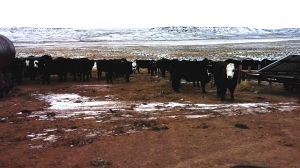 Heifers at the solar water tank at Powder Flat