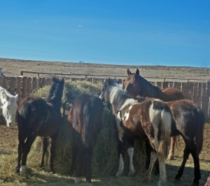 Colts eating hay
