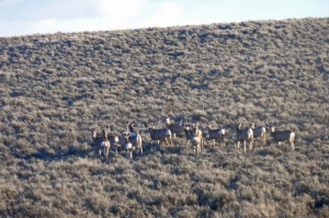 Mule deer near Baggs