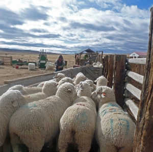 whiteface ewes waiting for the blade