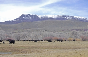 Cows and calves under Battle Mountain
