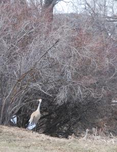 Cranes near their nest