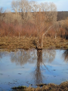 Willow reflected