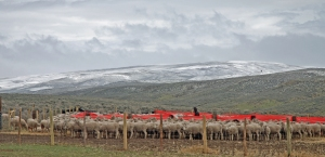 Ewes huddled behind tarp windbreaks