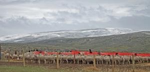 Ewes huddled behind tarp windbreaks