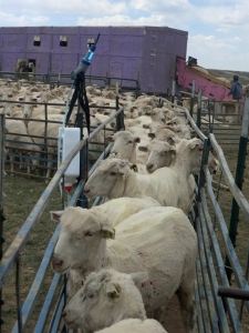 Shorn ewes waiting to be sprayed for keds