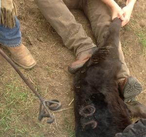 JO brand on calf