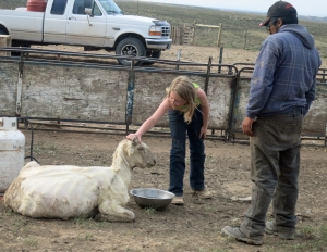 Siobhan and Edison give water to a stressed ewe