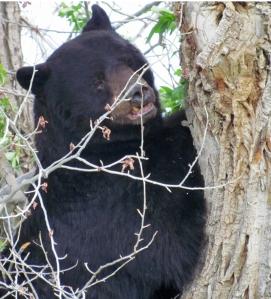 Pinup bear