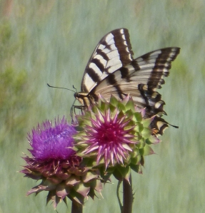 Butterfly braves a thistle--are there any lepidopterologists out there who can identify this butterfly?
