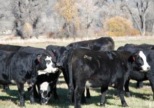 Cows with their calves