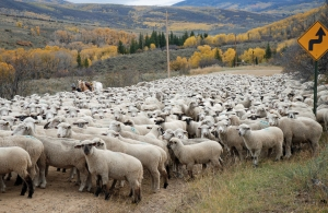 Ewes and lambs going into the Bull Pasture
