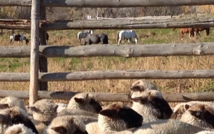 Lambs and horses
