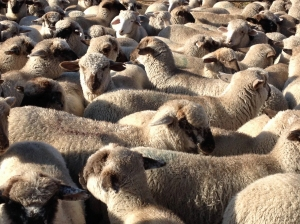 Lambs, ready to laod