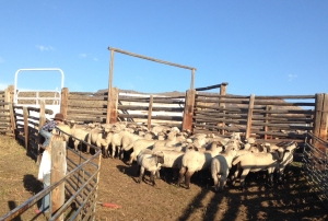 McCoy surveys the lambs in the corrals