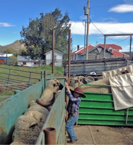 McCoy bringing the rams up the chute