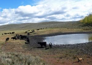Val, the Borgie (Corgie/Border collie cross) brings up the cows