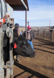 Cow in squeeze chute with Brittany and Pat