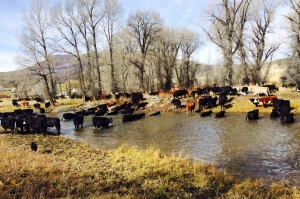 cows crossing the creek photo by Oscar