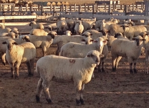 Lambs hanging out in the feedlot