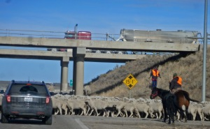 "As one motorist observed, ""a Wyoming traffic jam!"""