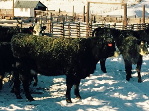Angus heifers at Home Ranch