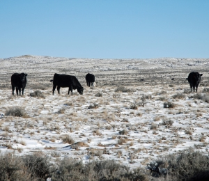 Winter grazing at Powder Flat