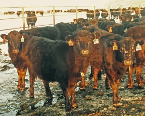 Heifers wintering at the Flying Triangle