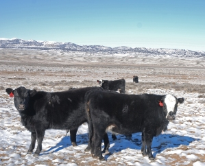 Winter cows at Powder Flat