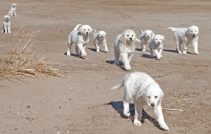 a plethora of guardian dog puppies